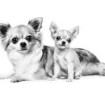 CHIHUAHUA_ADULT___PUPPY___BREED_EMBLEMATIC_Med._Res.___Basic