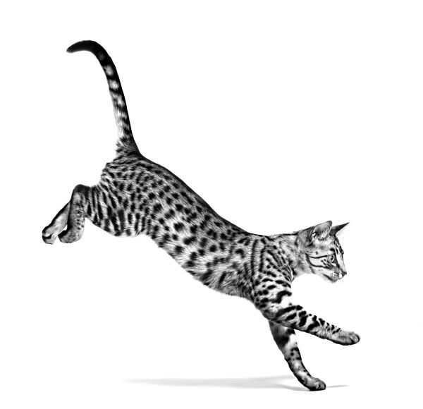 EGYPTIAN_MAU_ADULT___FHN_INDOOR_EMBLEMATIC_High_Res.___Print_250369